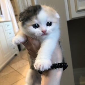 Scottish Fold Cats For Sale Cornwall