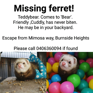 Wanted: Missing ferret 'Bear'