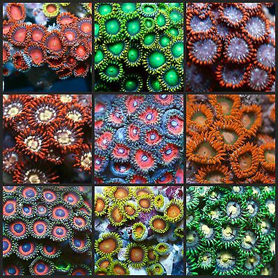 live coral 129 POLYPS FOR $129 ZOANTHID FRAG PACK! FREE FEDEX OVERNIGHT SHIPPING