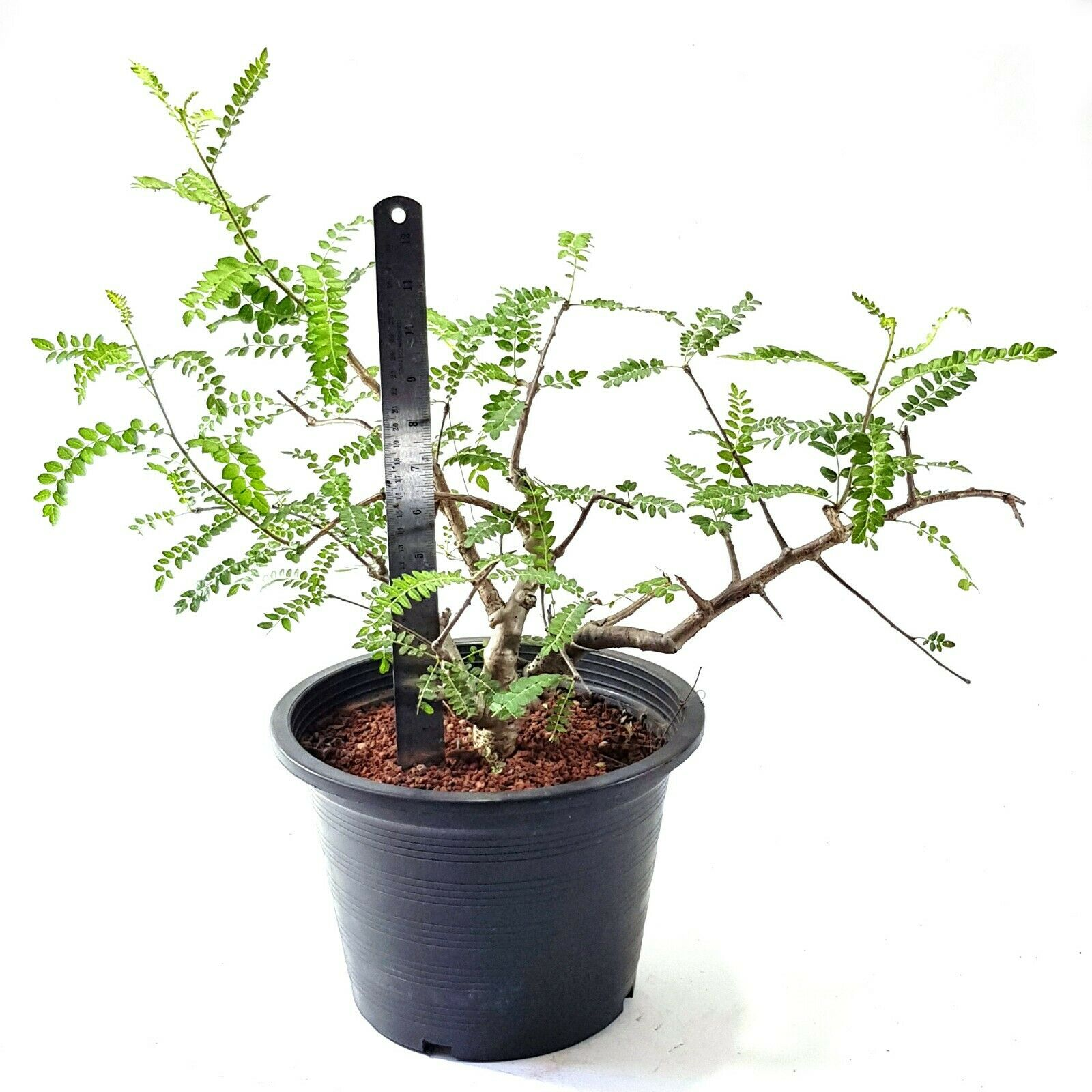 Commiphora wightii EXOTIC SUCCULENTS FOR SALE COLLECTIBLE PLANT