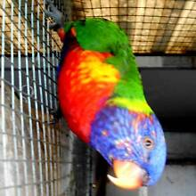 sf pied male lorikeet Waterford West Logan Area Preview