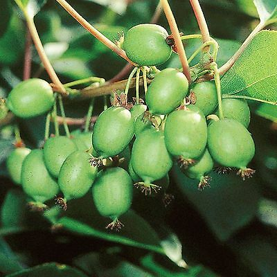 Actinidia arguta /'Issai/' selbstfruchtend Kiwi Pflanze 170cm Winterhart Mini