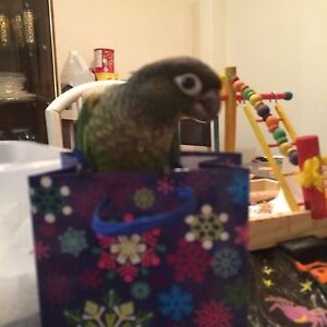 Hand Fed Pied Conure Baby 1 Left!