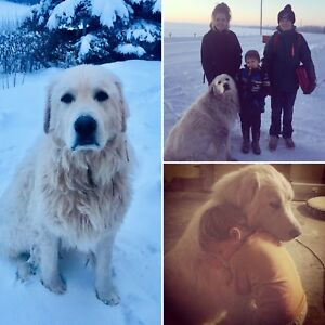 LOST DOG - male Great Pyrenees