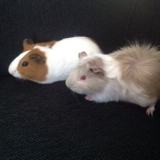 Gorgeous Guinea Pig Pair with hutch