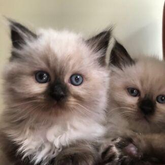 Beautiful Ragdoll x Himalayan Kittens for sale