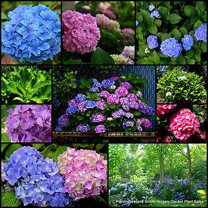 7 Hydrangea Plants 4 Types Pink Blue Garden Flowers Hydranga Cottage Hydrangeas