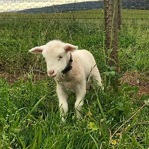 Lamb for sale Appin Wollondilly Area Preview