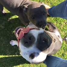 Wanting a blue English staffy Midland Swan Area Preview