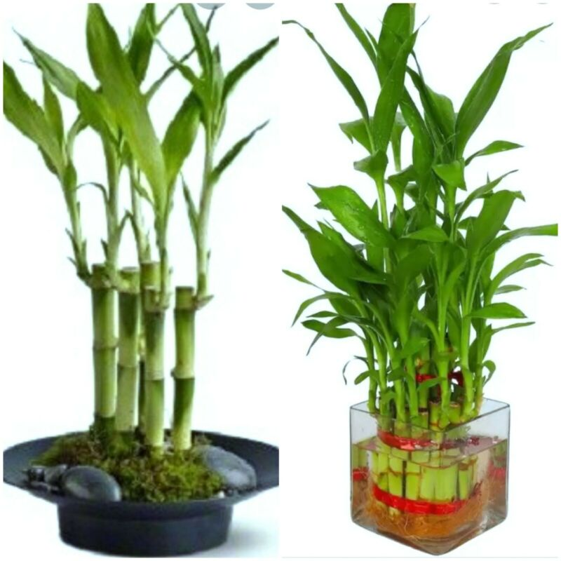 """7 Lucky Bamboo Plant 4"""" Stalks, Feng Shui, GIFT,  LIVE PLANT Free Shipping"""