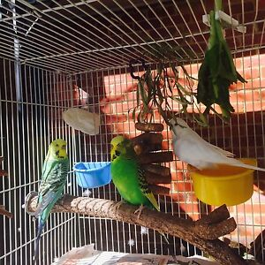 Three budgies + accessories Mentone Kingston Area Preview