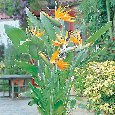 "Bird of Paradise (Strelitzia reginae) - 1 Plant - 8"" to 1 Feet Tall - 4"" Pot"