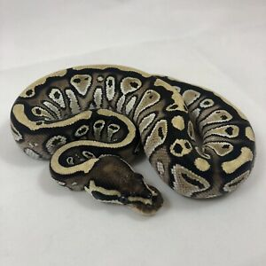 2018 Female baby ball python available