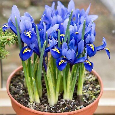 50 Dwarf Iris Bulbs