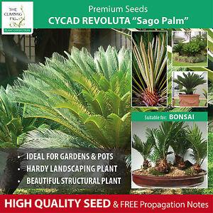 cycad revoluta sago palm seeds spectacular landscape cycas can also bonsai. Black Bedroom Furniture Sets. Home Design Ideas