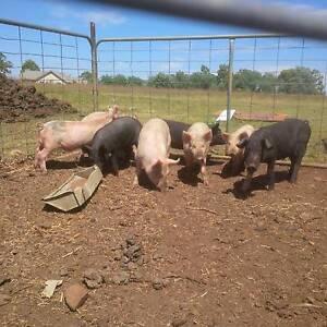 Pigs berksire cross up to about 35kgs Armidale Armidale City Preview
