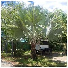 Bismark Palm fully established tree Browns Plains Logan Area Preview