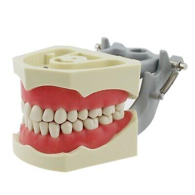 Usa Dental Typodont Exam Prep Model 32pcs Removable Teeth Fit Columbia 860