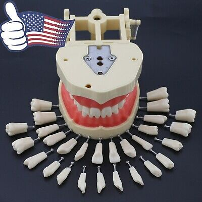 Us Frasaco Compatible Dental Typodont Soft Gingiva 28pcs Removable Teeth Model