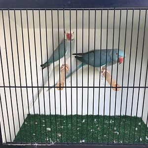 Blue cleartail Ringneck's breeding pair Strathpine Pine Rivers Area Preview