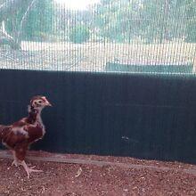 Rhode Island Red x Arucana Chickens Boyup Brook Boyup Brook Area Preview
