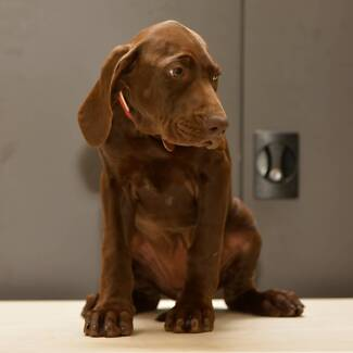 German Shorthaired Pointer Pupies Bankstown Bankstown Area Preview