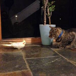 Missing Weiro's x 2 (1 Female - Yellow and 1 Male Grey) Quinns Rocks Wanneroo Area Preview