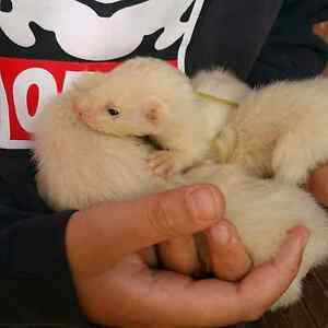 ferrets for sale Sunbury Hume Area Preview