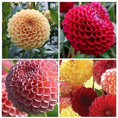 DAHLIA * POMPON * BRIGHT COLOR MIX * GREAT CUTFLOWER * SEEDS * NEW!!