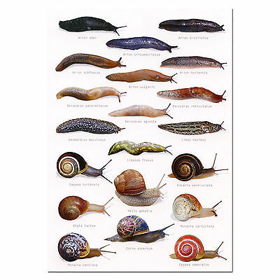 Slugs & Snails A5 Identification Card Chart Postcard