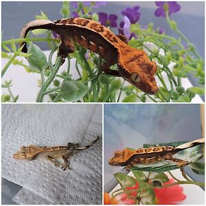 crested gecko sale!