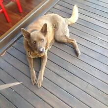 2 Mature Dogs needing loving home Armidale 2350 Armidale City Preview