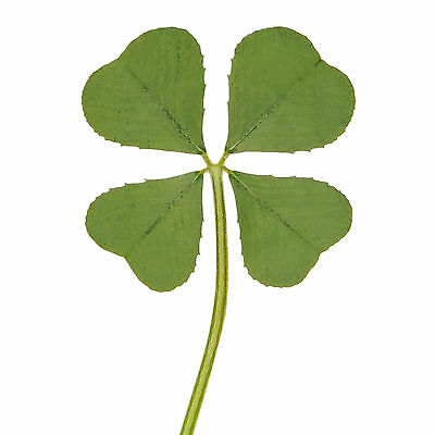 Real 4 Four Leaf Clover Irish Good Luck Charm Wedding Favors Gifts Dry Pressed M