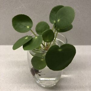 Pilea Chinese Money Plant