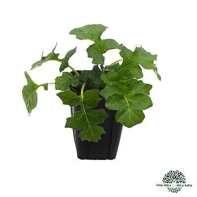 ACANTHUS MOLLIS Acanto Bear's breeches, Big spinach plant pianta vaso quadro