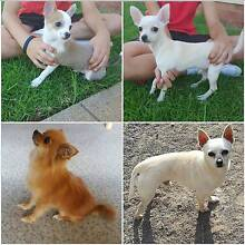 For sale 2 male chihuahua puppies Leeton Leeton Area Preview