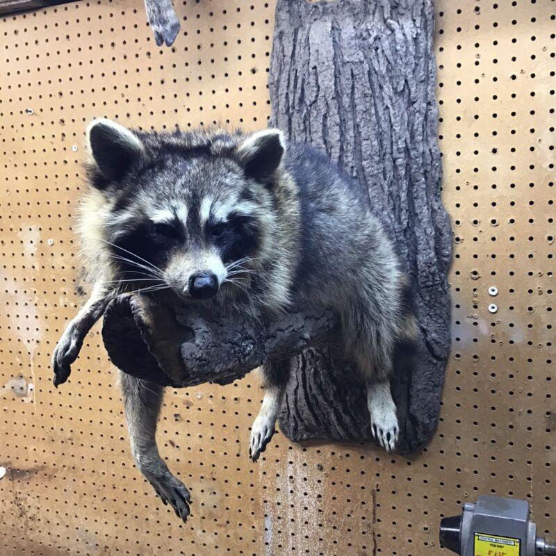 Life Size Raccoon Mount Laying On Limb
