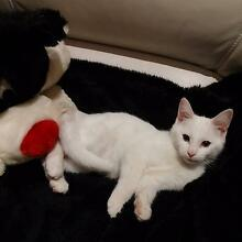 Five Gorgeous Kittens- 5 months old Brooklyn Brimbank Area Preview