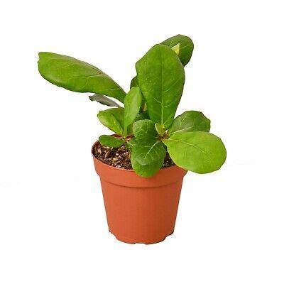 Ficus Lyrata Fiddle Leaf Fig - 4
