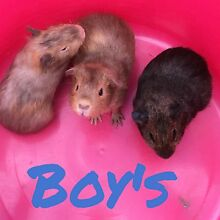 3 male Guinea pigs 5 weeks old Ettalong Beach Gosford Area Preview