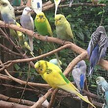 Budgies for sale- young and adult birds. Bracken Ridge Brisbane North East Preview