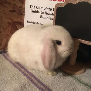 PureBred Holland Lop Baby Bunnys