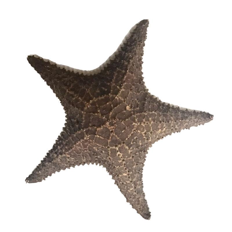 Authentic Dried Starfish Large Beautiful Cushion Sea Star Decorative Beach