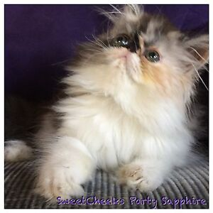 Beautiful Pedigree Persian kitten Capalaba Brisbane South East Preview