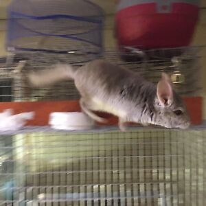 Chinchilla beige Male 125$ without cage 200$ with cage