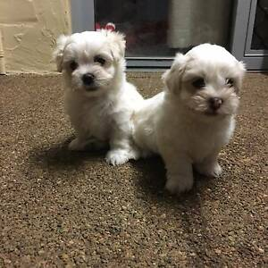 Maltese x Shih tzu Puppies, 2 Girls and 2 Boys, White & Tan $ Bracken Ridge Brisbane North East Preview