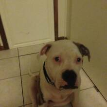 AMERICAN BULLDOG PUP Redland Bay Redland Area Preview