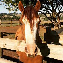 Welsh B Pony For Sale 13.1 hh 'Bandit' Baw Baw Area Preview