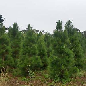 Christmas trees East Kurrajong Hawkesbury Area Preview