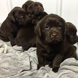 CKC Chocolate Labrador Retriever Pups
